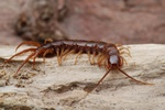 Lithobius forficatus